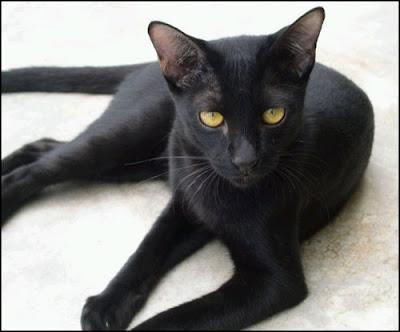 ความเชื่อเกี่ยวกับแมวดำ