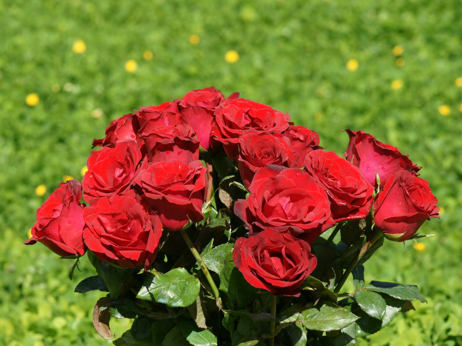 http://4.bp.blogspot.com/-PQ0yVf2dZJc/ToYr4JRBwhI/AAAAAAAAAFw/XVSvKtQzNEs/s1600/red+rose+wallpapers+4.jpg