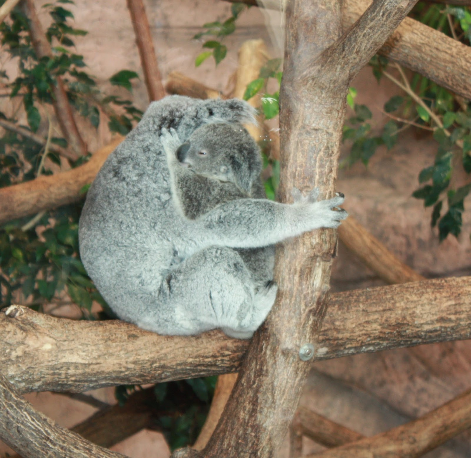 câlin beauval koalas