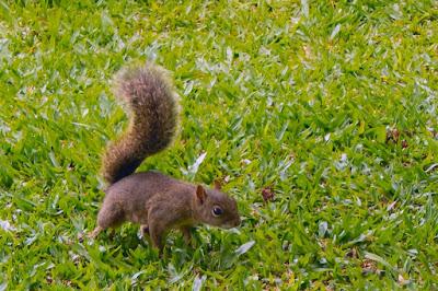 Um esquilo no gramado: algo raro de ver nas grandes cidades.