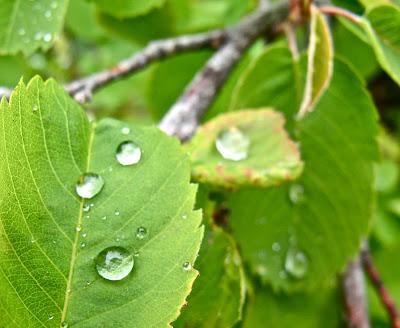 rain drops on a green leaf