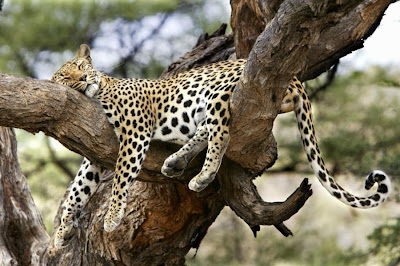 Leopard Sleeps high up in tree