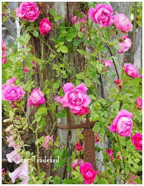 Wrams Gunnarstorp blommar i den gamla rostiga grepen !