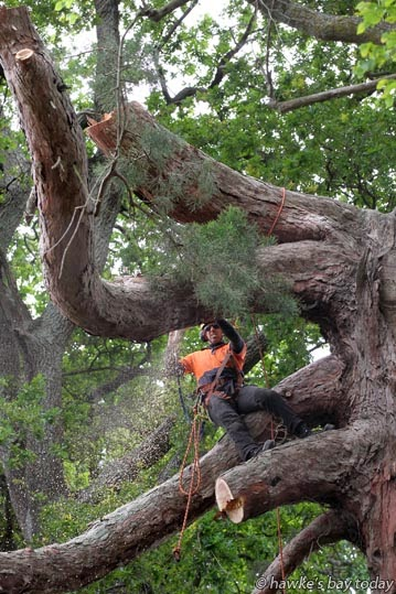 Staff from Pro Arbore Treecare Specialists, contractors to Hastings District Council, cutting down a redwood, one of  six ageing trees being removed from Oak Ave, aka Ormond Rd, Hastings. photograph