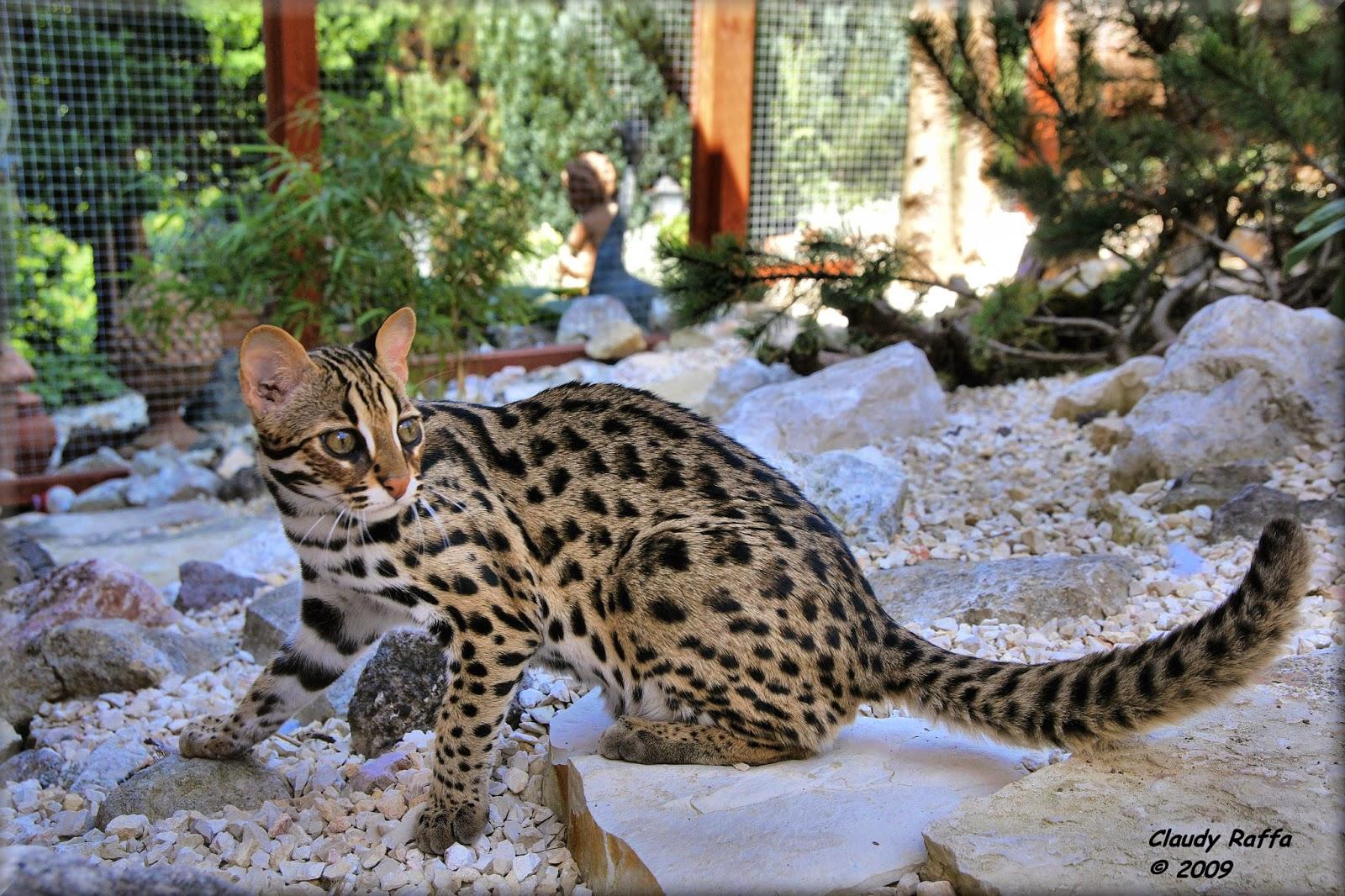 Lady waterloo un tigre dans son jardin - Chat qui perd pas ses poils ...