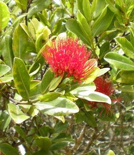 Waimea Canyon State Park flower ohia lehua goddess pele lava