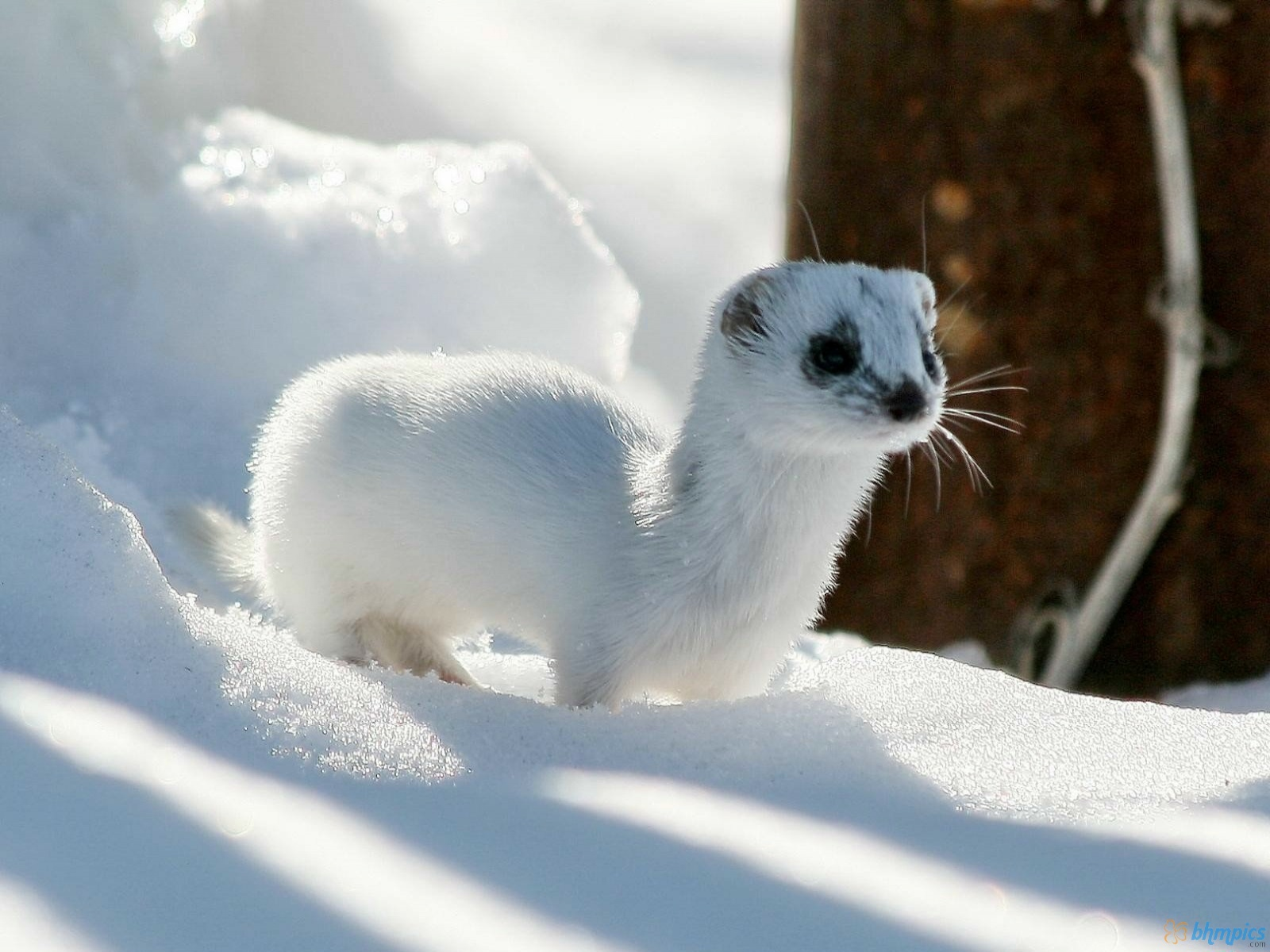 Free Best Pictures: Winter Ferret Ermine Wallpapers