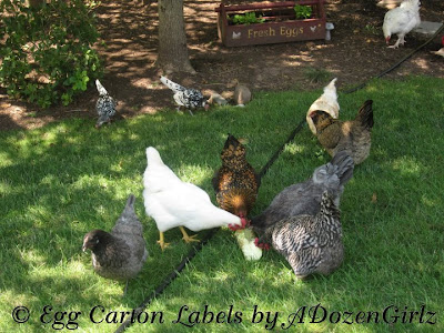 Chickens enjoying frozen zucchini in the shade on a hot day.