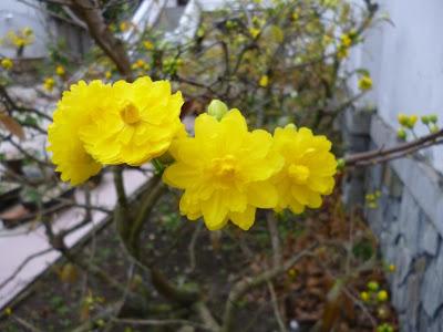 Cành hoa mai mừng xuân 2013