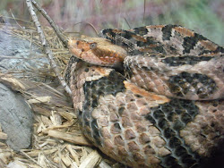 Rattlesnake curled up giving me The EYE!
