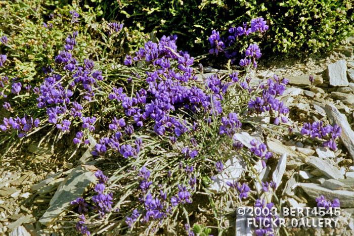 Trekcapri 39 s blog bert 39 s camino de santiago for the love - What are blue roses called ...
