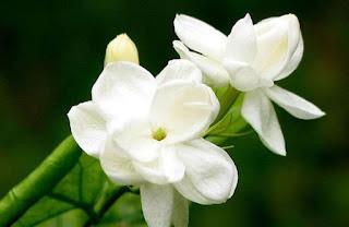 Manfaat dan khasiat bunga melati