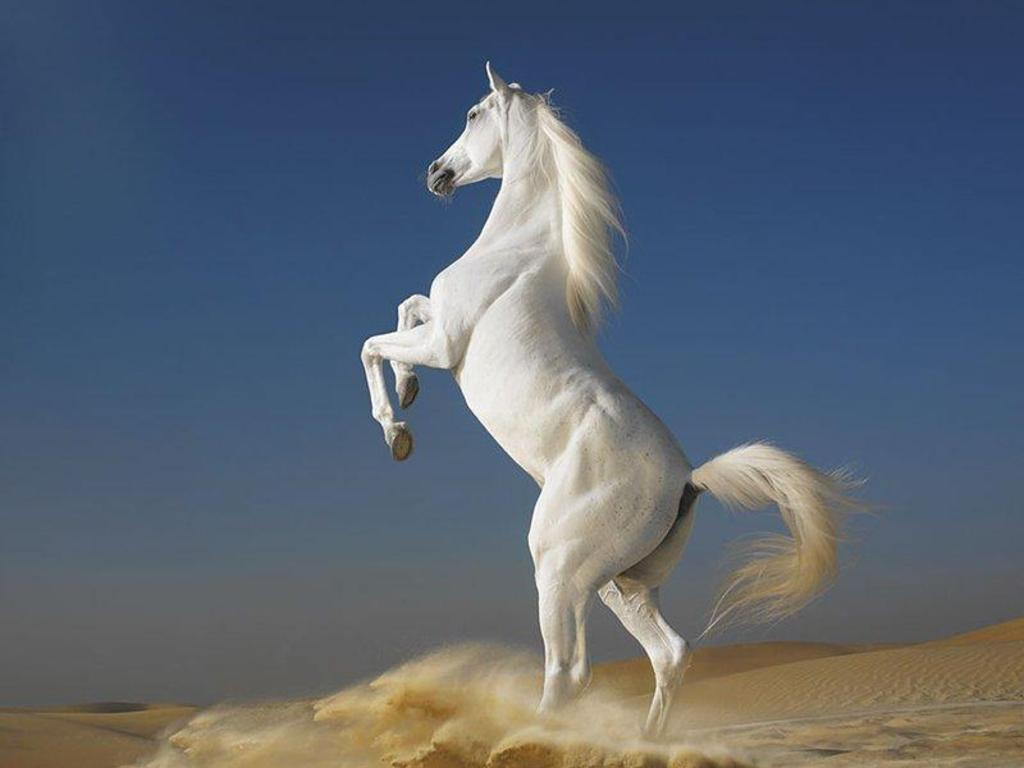 Beautiful Cute White Coloured Horse Pictures   Photos   Wallpapers