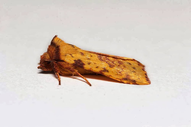 Pink Barred Sallow - Photographed in Milton Keynes