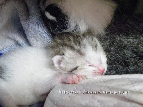 眠っている赤ちゃん猫 横耳