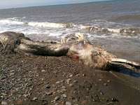 Makhluk Misterius yang Terdampar di Pantai Bingungkan Ilmuwan