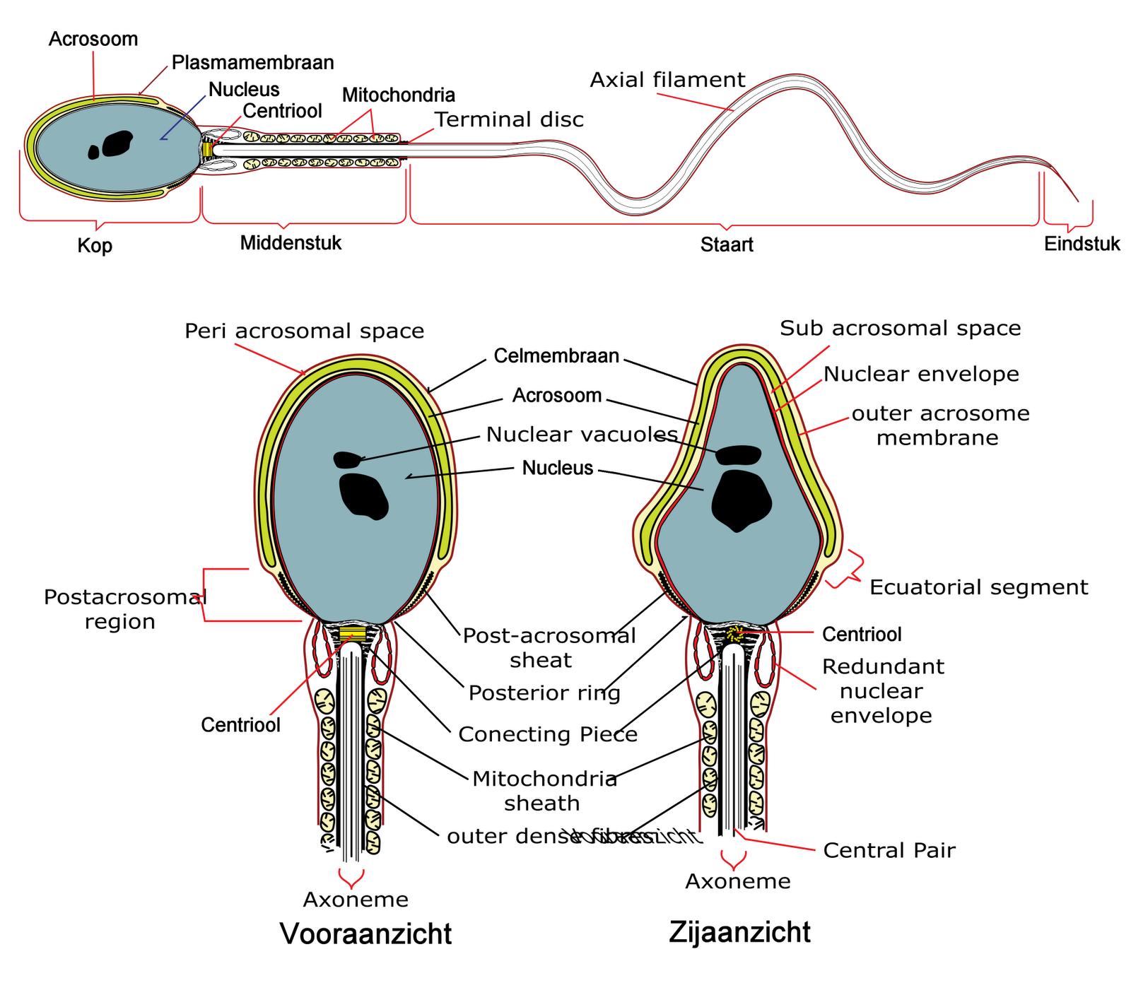 Сколько сперма находится в организме