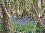Local Bluebell Woods
