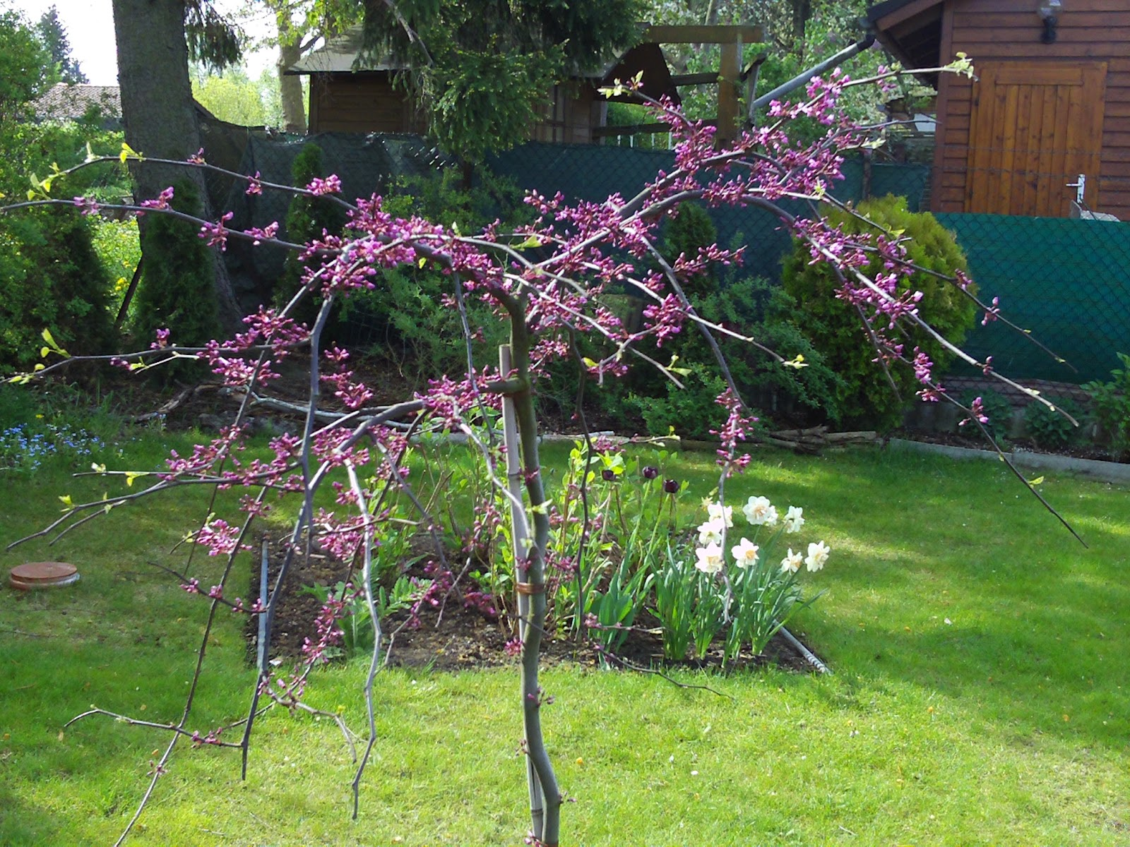 h ngender judasbaum cercis canadensis lavender twist. Black Bedroom Furniture Sets. Home Design Ideas