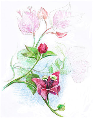 flower with color pencils, bougainvillea, sketch