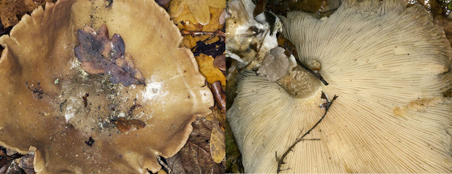 Tawny Funnel, Lepista flaccida (perhaps). Hayes Common, 13 December 2011.