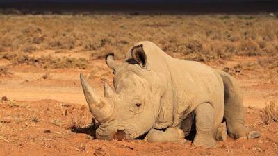 buongiornolink - In Sudafrica torna legale la vendita di corna di rinoceronte