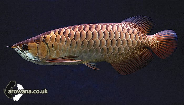 Crossback Golden Arowanas Picture