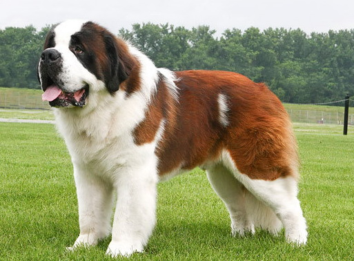 cute dogs pets biggest saint bernard dogs