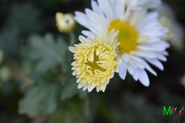 Metro Greens: White Chrysanthemum