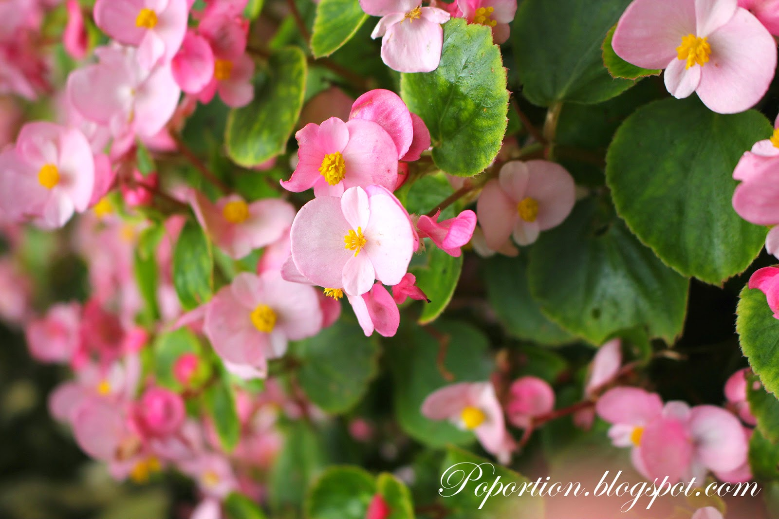 pink tiny flowers in bloom