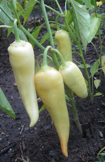 Sweet banana peppers from seed