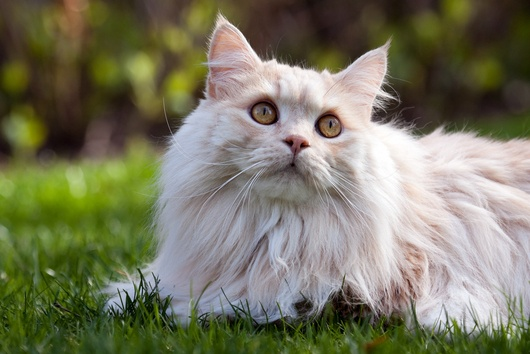 Facts about Manx cats