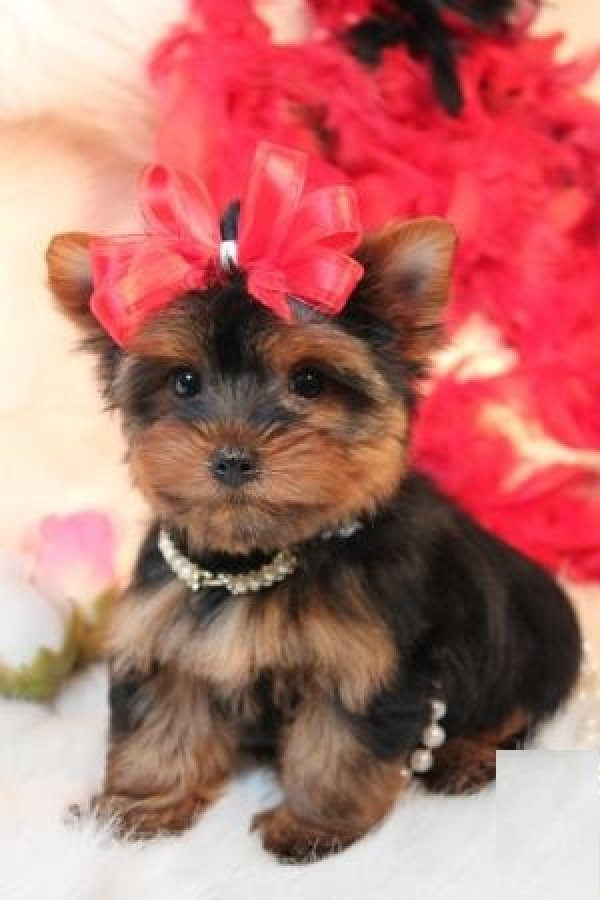 Cute Puppy Dogs Teacup Yorkshire Terrier Puppies