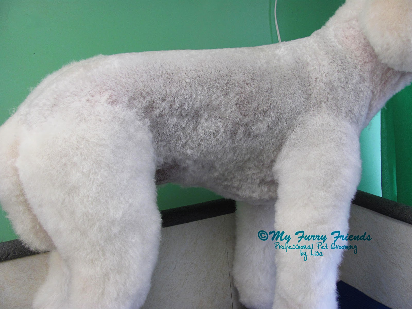 Pet Grooming: The Good, The Bad, & The Furry: Lamb Cut