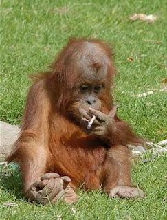 Funny Gorilla Picture