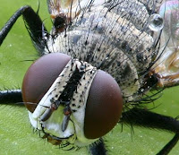 http://upload.wikimedia.org/wikipedia/commons/5/59/Focus_stacking_Tachinid_fly.jpg