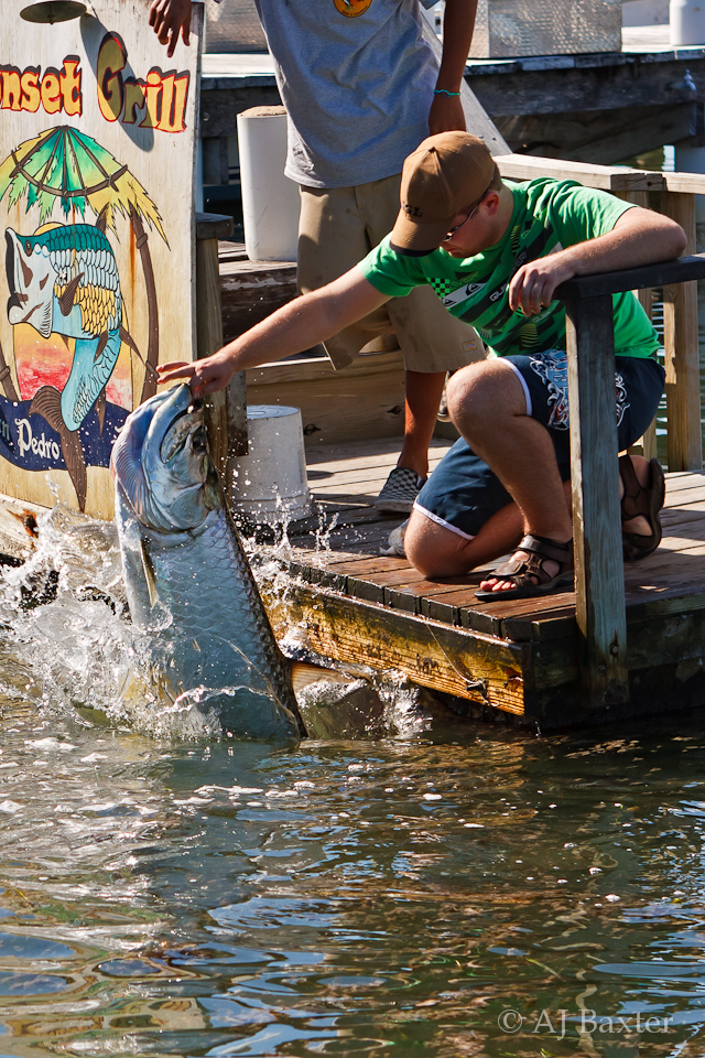 Image:  Man feeding his fingers to a large tarpon in San Pedro, Ambergris Caye, Belize