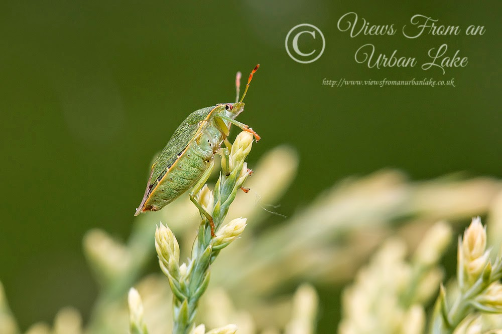 Common Green Shieldbug - Garden, Milton Keynes