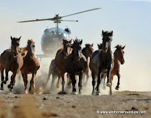 Helicopter Chasing Wild Horses