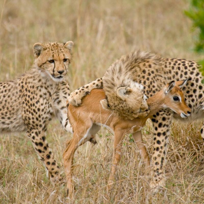 african cheetah Cheetahs are best known for their incredible speed, which has earned them their reputation as the fastest animal on earth to see one whilst on safari is a real privilege, as these delicate carnivores are amongst the most beautiful (and the most elusive) of all african animals like a million.