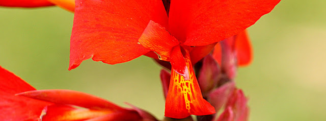 Imagem de flor vermelha com detalhes amarelos