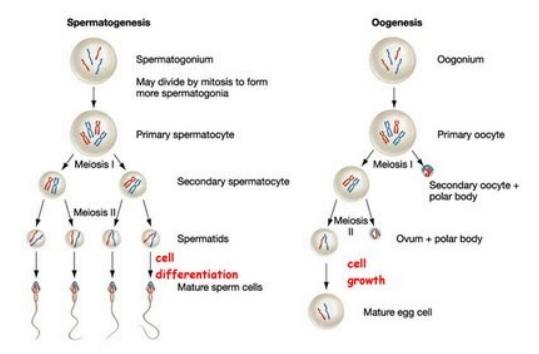 Sistem reproduksi perbedaan spermatogenesis dan oogenesis sistem reproduksi perbedaan spermatogenesis dan oogenesis gametogenesis adalah proses pembuatan gamet pada jantan disebut dengan spermatogenesis dan ccuart Choice Image