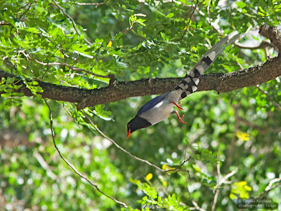 red-billed blue magpie, hongkong birds
