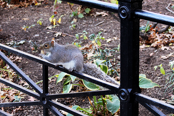 NYC New York Grand Manhattan Squirrel