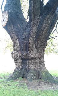 Quercus robur - Oak Tree Brockwell Park Huge Trunk