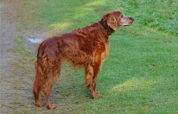 Irish Setter Hunting Dogs desktop wallpaper