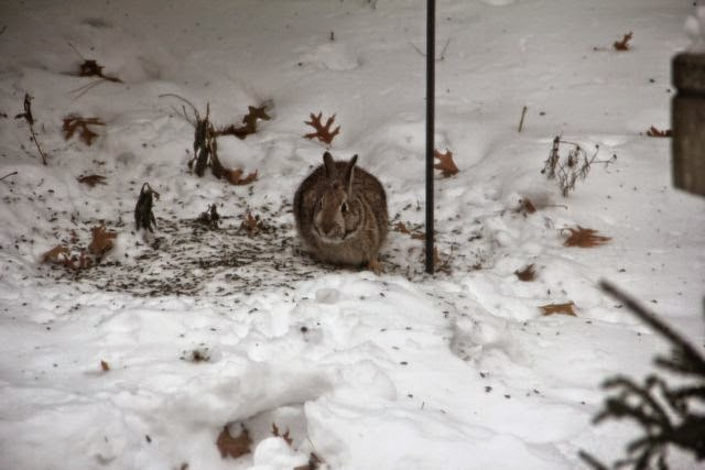 cottontails sometimes appreciate messy birds at feeders