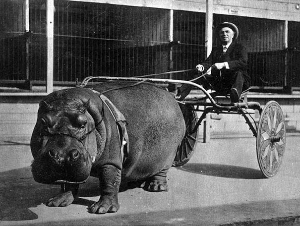40 Must-See Photos Of The Past - Circus hippo pulling a cart, 1924