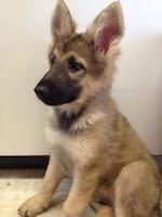 German Shepherd Baby