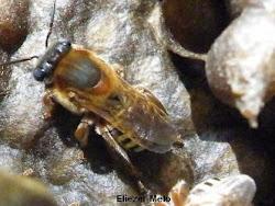abelha mandaçaia do chão